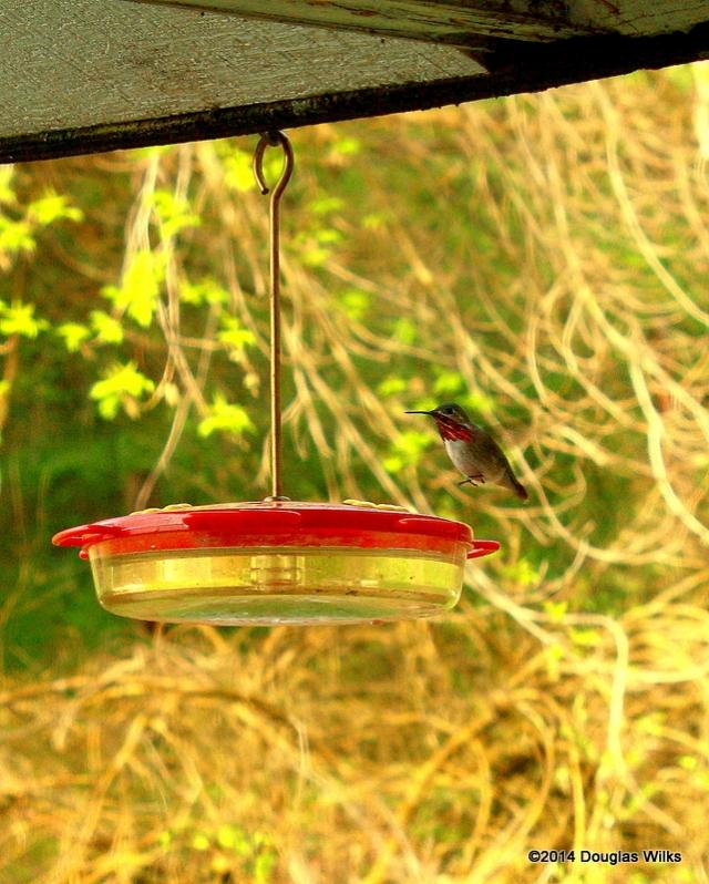 A hummingbird flies to a feeder in western Montana.